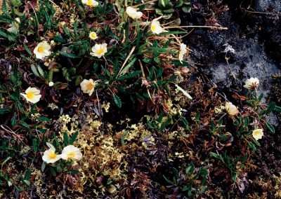Tundra Lichen, Moss, Dryas Flowers, North Slope, Brooks Range, Alaska