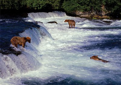 Three Grizzly Bears Salmon Fishing, Katmai, Alaska