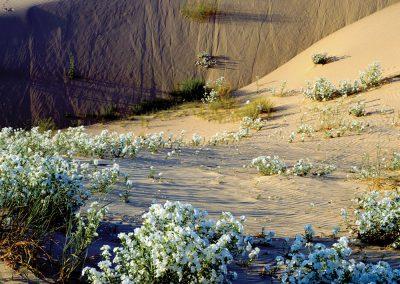 Heliotrope, Pecos River Valley Gypsum Dunes, Monahans, Texas