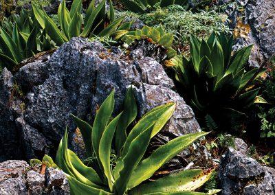 Agaves, Karst Limestone Erosion, Sierra Madre Oriental, Tamaulipas, Mexico