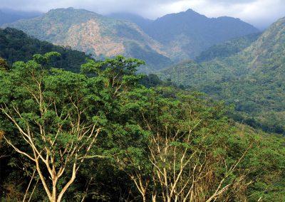 Monkey Ear Acacias, Dry Tropical Forest, Sierra Madre Occidental, Chiapas, Mexico