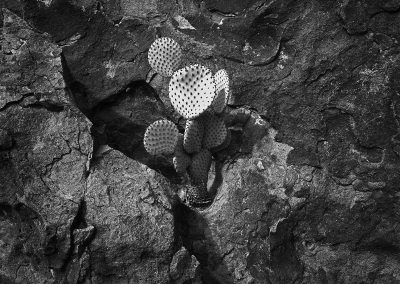 Cactus in Rock