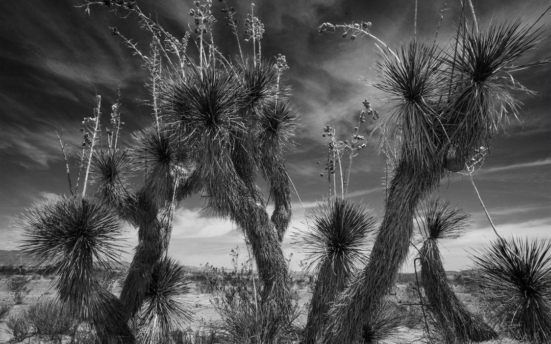 Yucca Family Maverick Road