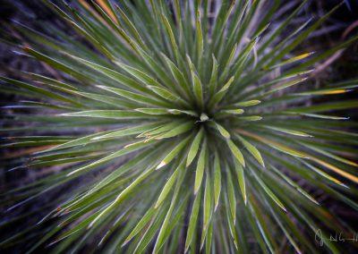 Yucca #2