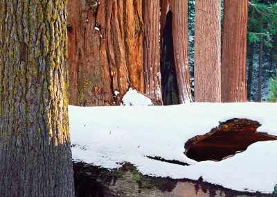Giant Sequoia, Pine, Fir Friends, Sierra Nevada, California