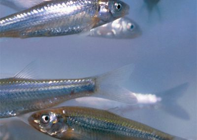 Endangered Rio Grande Silvery Minnows, New Mexico