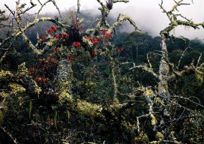 Scarlet Runner Flowers, Lichen, Fog, Sierra Madre Oriental, Tamaulipas, Mexico
