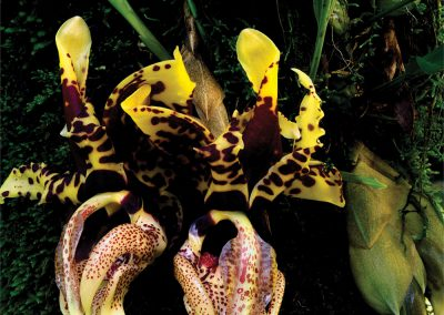 Stanhopea Orchids, Cloud Forest, Sierra Madre Oriental, Tamaulipas, Mexico